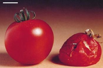 tomates_transgenicos