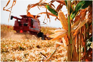 argentina-maiz