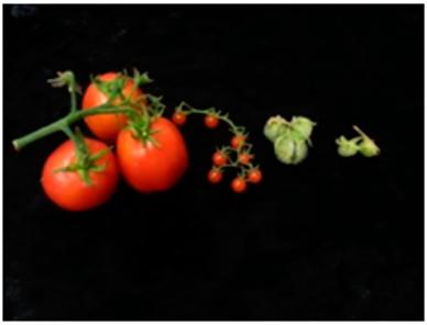 tomate-fondo-negro