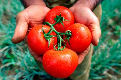 tomate-sequia