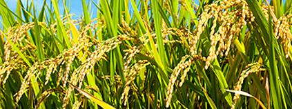 arroz-fotosintesis