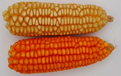 maiz-españa