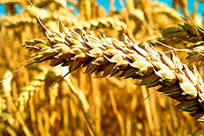 trigo-sequia