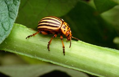 escarabajo-de-la-papa
