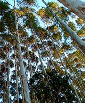 brasil-eucaliptus