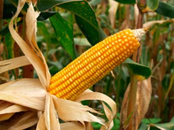 genes-maíz