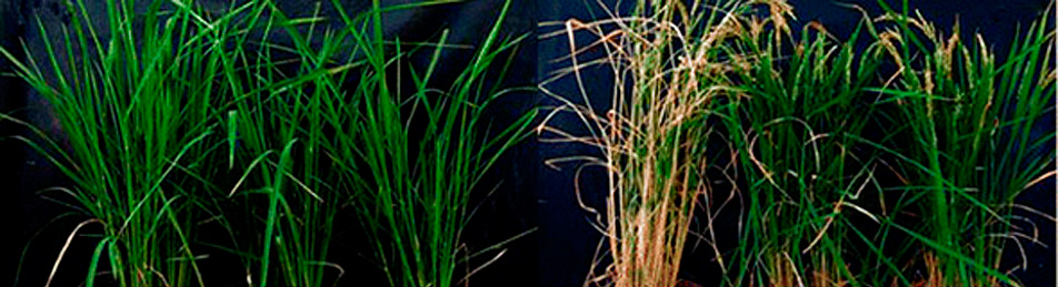 plantas-de-arroz