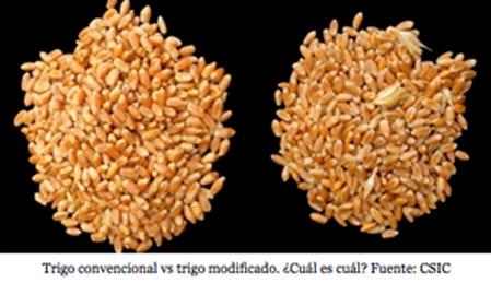trigo-celiacos