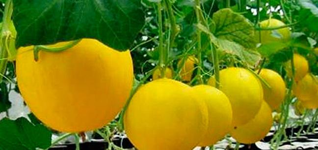 genoma-del-melon