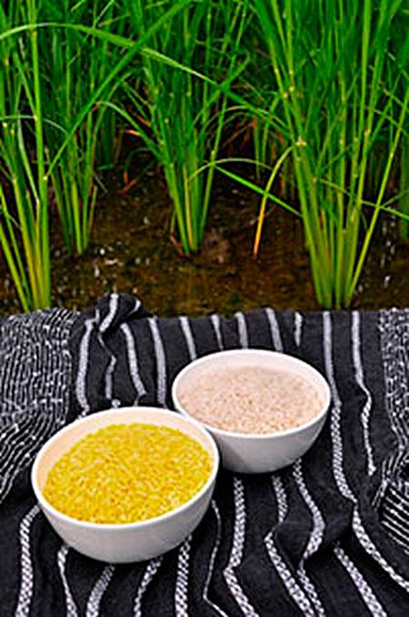 primer-ensayo-de-campo-con-arroz-dorado