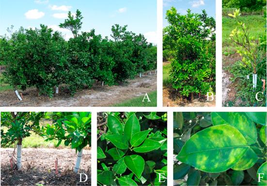 resistentes-a-grave-enfermedad-de-los-citricos