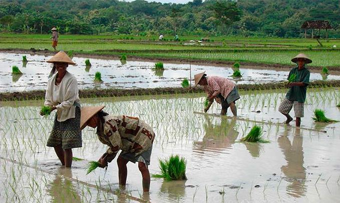 arroz-transgenico