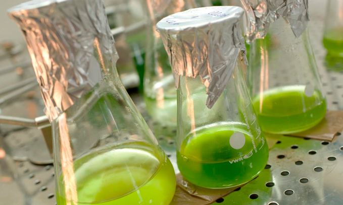 alga-transgenica