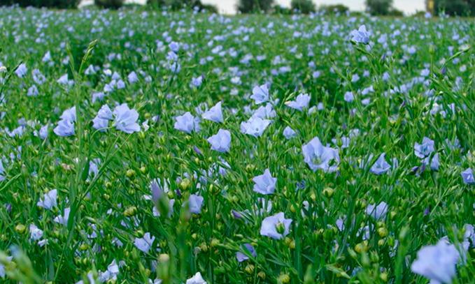 desarrollan-lino-tolerante-a-herbicida
