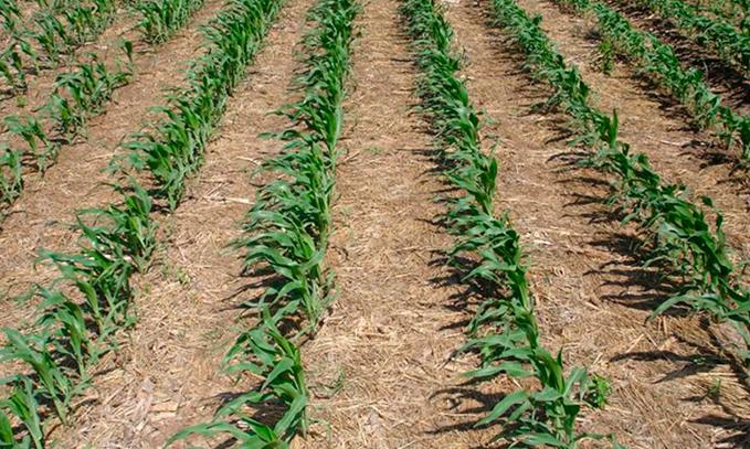 maiz-modificado-geneticamente