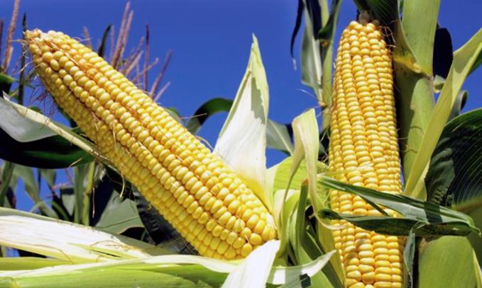 siembra-experimental-de-maiz-transgenico
