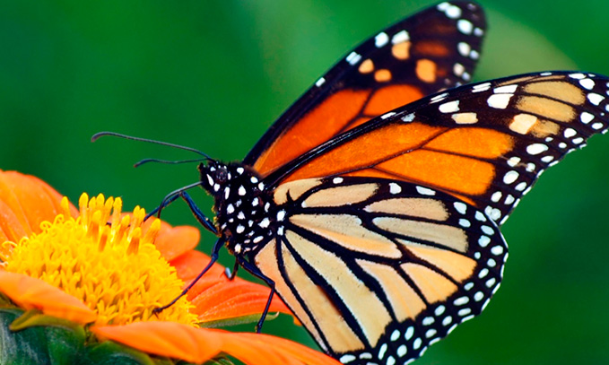 los-cultivos-transgenicos-no-estan-reduciendo-la-poblacion-de-mariposas-monarca