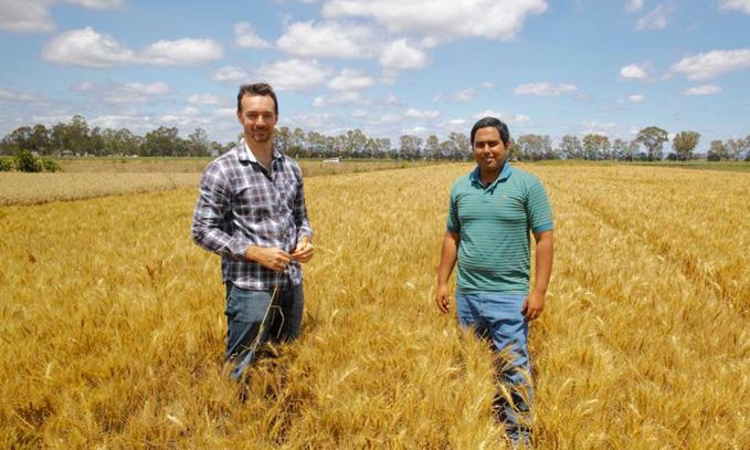 trigo-pueden-mejorar-las-variedades-modernas