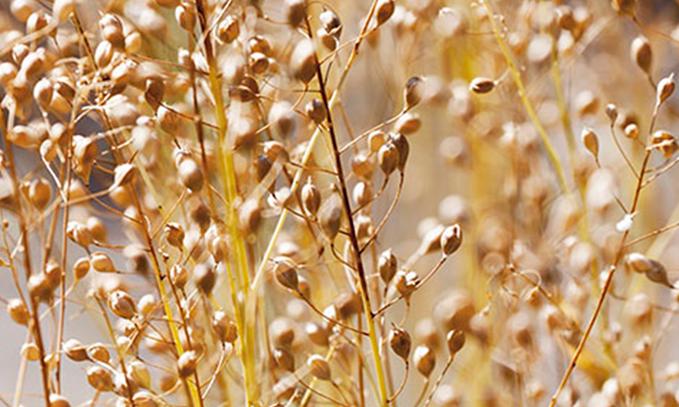 Reino-Unido-iniciara-ensayos-de-campo-con-semillas-transgenicas-altas-en-omega-3