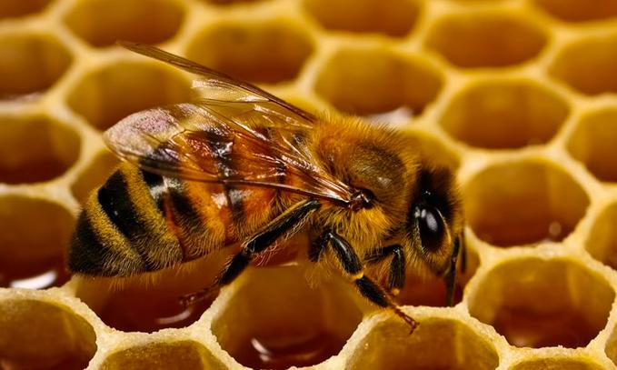 cultivos-transgenicos-Bt-no-dañan-a-las-abejas