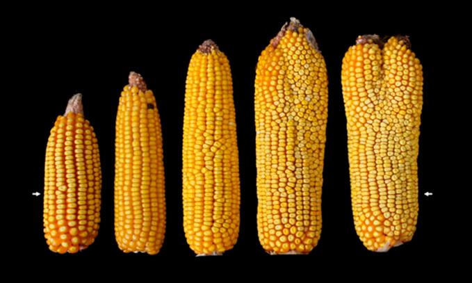 nuevo-hallazgo-permitira-aumentar-el-rendimiento-del-maiz-y-cultivos-basicos