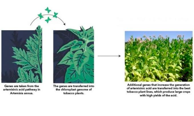 Desarrollan-alga-que-produce-el-principal-ingrediente-del-tratamiento-mas-efectivo-contra-la-malaria