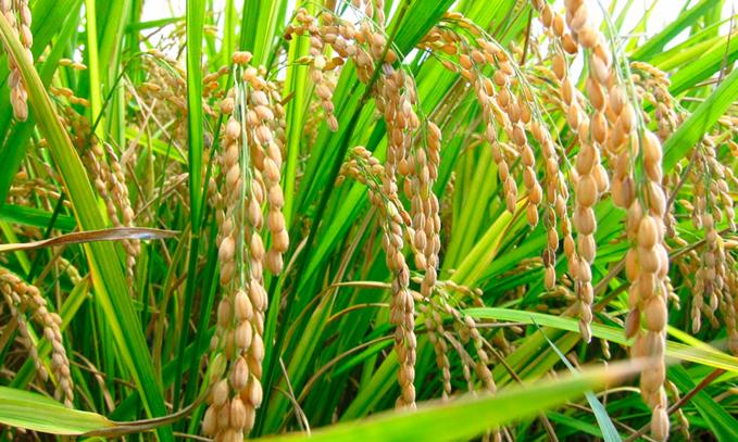 Desarrollan-arroz-geneticamente-modificado-con-anticuerpos-contra-el-VIH