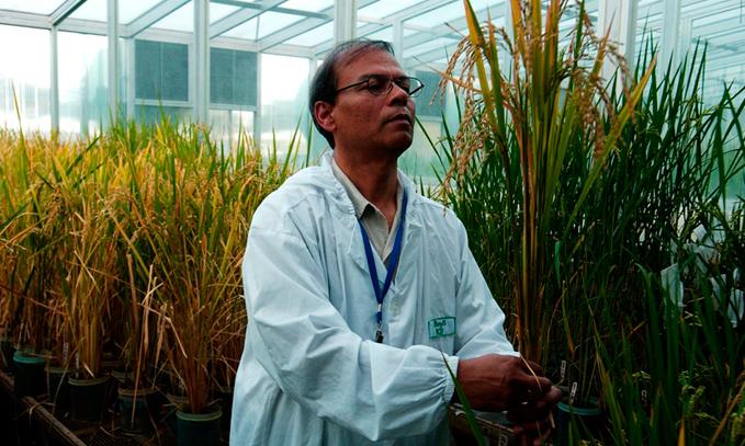 Mas-de-100-Premios-Nobel-llaman-a-Greenpeace-a-terminar-su-oposicion-a-los-transgenicos-y-al-arroz-dorado