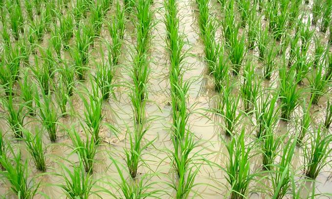 cientificos-descubren-proteina-que-aumenta-el-rendimiento-del-arroz-en-un-50