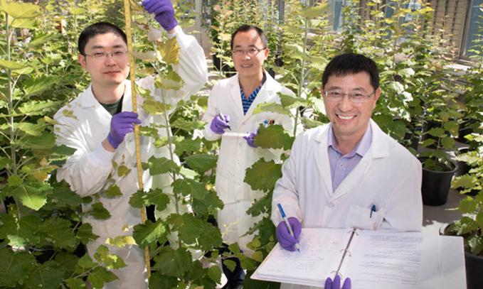 Generan-arboles-modificados-que-facilitan-obtencion-de-biocombustibles
