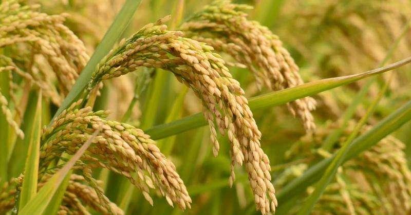arroz trangenico