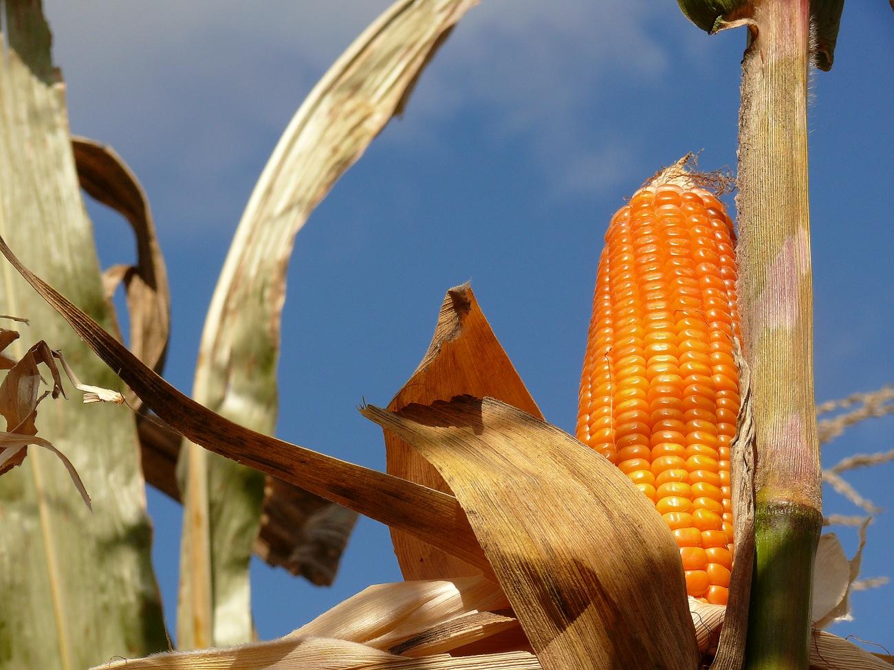 maiz trangenico