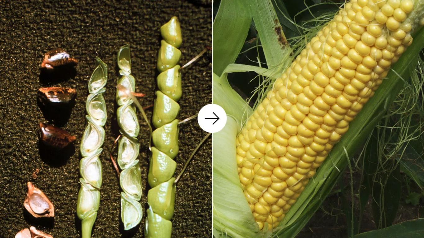 genoma-de-maiz