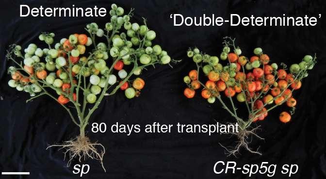 tomates-desarrollados